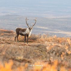 Did you know?  Caribou bulls have the largest antlers of any deer species relative to their body weight.  #canon #timplowdenphotography #travel #traveling #caribou #reindeer #mammal #animal #animallovers #alaska #grazing #wildlife #alaskanwildlife #nature #habitat #antlers #landscape #facts #educate #canon #alaskanadventures