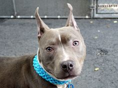 SAFE RTO 6-10-2015 --- Manhattan Center DUTCHESS – A1037968  FEMALE, GRAY / WHITE, PIT BULL MIX, 1 yr STRAY – ONHOLDHERE, HOLD FOR EVICTION Reason OWN EVICT Intake condition UNSPECIFIE Intake Date 05/29/2015