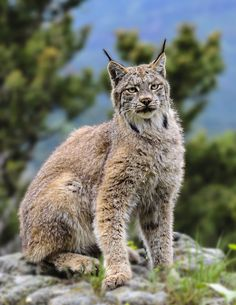 Lynx Summer Coat | Summer Canadian Lynx by White-Voodoo