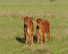 Beefmaster Calves