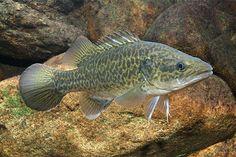 Murray Cod Salt And Water, Fresh Water, Photos Of Fish, Fishing Chair, Cod Fish, Marine Fish, Underwater Life, Exotic Fish, Freshwater Fish