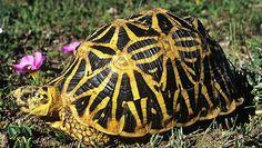 Rare Animals That Need Preservation: Geometric Tortoise