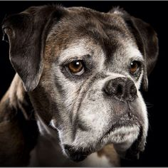 Beautiful face. Boxers only live about 10 -12 years. They are so precious.