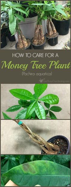 Money Plant Care Guide: How To Take Care Of A Money Tree Plant Braided money tree plants are said to bring good luck and prosperity to the owner. They'll thrive in your home for years with these money plant care tips. Money Tree Plant Care, House Plant Care, Tree Care, Pachira Aquatica, Comment Planter, Money Trees, Money Tree Bonsai, Garden Care, Landscaping Plants