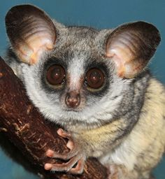 Galagos Bushbaby- African primate with big eyes that allow them to see very well at night.