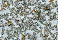 Nature – singles, third prize  Monarch butterflies cover the forest floor of the Rosario butterfly sanctuary in Michoacán, Mexico