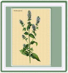 PLANTAS MEDICINALES: MENTA PIPEROTA