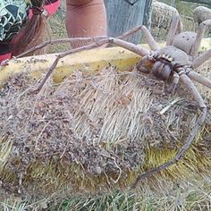 Photos of a giant huntsman spider that was rescued in Queensland, Australia.