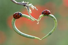 Mother nature provides a romantic heart shaped perch for these two Lady bugs