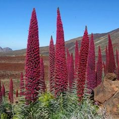 Tajinaste - Tenerife - The Canaries