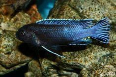 "Pseudotropheus perileucos (Likoma & Membe Point) - 3.5"" (male)"