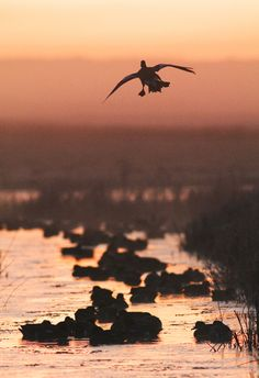 Robert Canis - Wigeon joining flock on  wintry North Kent Marshes, England - 2012.