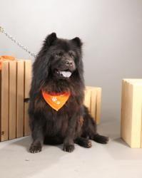 Sarabi: Chow Chow, Dog; Cicero, NY