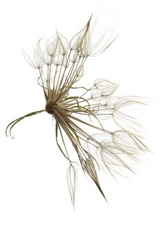 goat's beard | STILL (mary jo hoffman)