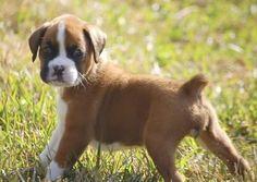 Dream dog, Boxer dog puppy
