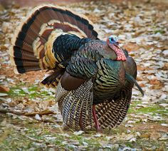 One Florida family had to spend Thanksgiving without their turkey, because two men kidnapped and killed their pet bird with a bow and arrow. The robbery happened in south Florida, where Tom the turkey lived as a pet on Brian and Christa Caponi's property. Pet Turkey, Wild Turkey, Turkey Hunting, Turkey Pics, Turkey Farm, Hunting Art, Pretty Birds, Beautiful Birds, Game Birds