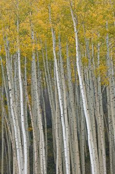 Photograph Autumn Aspens by Dean Pennala. Memories of Aspen, CO and hiking in the fall. Wow Photo, Aspen Trees, Birch Trees, Tree Forest, Birch Forest, Nature Tree, Tree Leaves, Tree Art, Tree Of Life