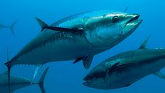 Increased Conservation Efforts May Be Too Late for the Atlantic Bluefin Tuna Atlantic Bluefin Tuna, Salt Water Fish, Oceans Of The World, Fukushima, Ocean Creatures, Sea Fish, Endangered Species, Marine Life, Conservation