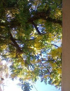 Árvore chuva de ouro