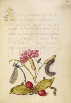 Joris Hoefnagel (illuminator) [Flemish / Hungarian, 1542 - 1600], and Georg Bocskay (scribe) [Hungarian, died 1575], Damselfly, Carnation, Firebug, Caterpillar, Carnelian Cherry, and Centipede, Flemish and Hungarian, 1561 - 1562; illumination added 1591 - 1596, Watercolors, gold and silver paint, and ink on parchment, Leaf: 16.6 x 12.4 cm (6 9/16 x 4 7/8 in.), 86.MV.527.68.