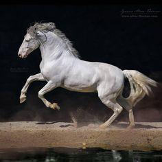 """1,220 Likes, 11 Comments - Ignacio Alvar Thomas (@alvar_thomas) on Instagram: """"Toledano XXXI Un caballo Cartujano que me tiene enamorado, es como una escultura de Leonardo, no…"""""""
