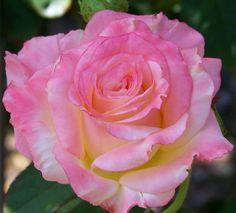 Bright pink rose.