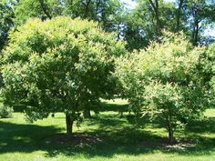 ornamental trees. Maackie Amurensis.  Zone 3a.  full sun.