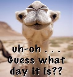Uh Oh Guess What Day It Is quotes quote wednesday hump day hump day camel wednesday quotes happy wednesday happy hump day happy wednesday quotes Wednesday Greetings, Wednesday Hump Day, Good Morning Wednesday, Good Morning Good Night, Thursday Night, Wednesday Coffee, Hump Day Quotes, Hump Day Humor, Funny Good Morning Quotes
