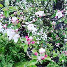 Swedish: Ett Äppelträd 🍎🍏🌳🍎🍏 English: an apple tree