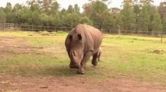 This one going for a little trot.   23 Baby Rhinos That Will Make You Impossibly Happy