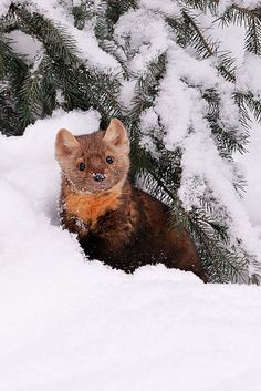 Photo by Jeff Wendorff. American Marten, Wild Animals, Cute Animals, Pine Marten, His Dark Materials, Animal Portraits, Kittens, Cats, My Spirit Animal