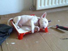 sleeping after mischief)))) #Bull #Terrier #Dog #Dogs #Animal #Terriers #Cute #Pet