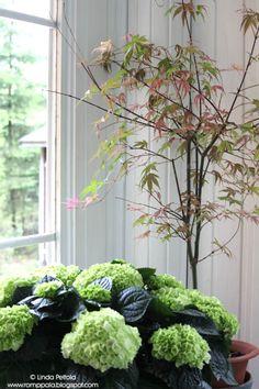 Japanese maple and hydrangea Romppala - Lindan pihalla: Kevätkatsaus