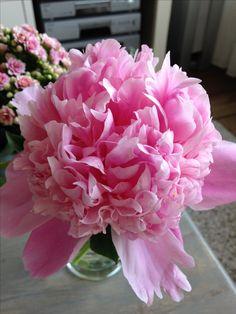 Pioenroos in volle bloei