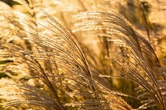 Wind Through Golden Grasses Sunrise wind blows through pampas grass fronds - Starin Park - Whitewater Wisconsin - USA Whitewater Wisconsin, Pampas Grass, Grasses, Sunrise, Park, Natural, Plants, Lawn, Grass