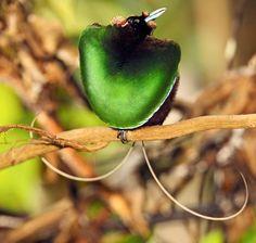 Magnificent bird-of-paradise, Cicinnurus magnificus