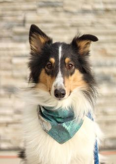 Casey Lou, a lovely, old-fashioned Collie. Scotch Collie, Livestock, Corgi, Animals, Animales, Animaux, Corgis, Animal, Animais