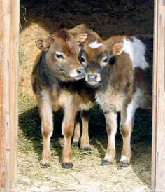 Miniature Jersey cows -- so want a couple of these...waaaaay cuter than goats!