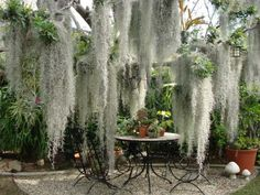 can't grow spanish moss? use 'silver falls' dichondra in hanging baskets!
