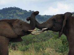 Safári na África do sul ... Vamos? http://www.simlazer.com/pacotes/safari_africa_do_sul