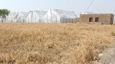نئی گندم کسان، حکومت اور صارف سب پر بھاری؟