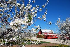 Aromatic cherry blossoms take over Door County, Wisconsin every spring!
