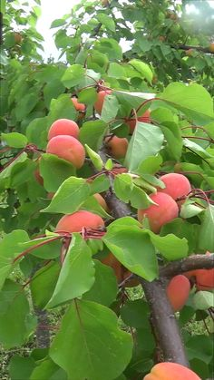 Weird Fruit, Fruit Love, Fruit And Veg, Fruits And Vegetables, Fruit Plants, Fruit Garden, Fruit Trees, Trees To Plant, Beautiful Fruits