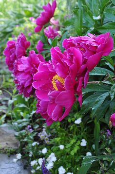 Need to plant Peonies in my garden this fall