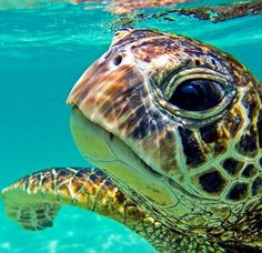 I have seen numerous suggestions for Russian tortoise diet Some great Some awful. Russian Tortoises are nibblers and appreciate broad leaf plants. Baby Sea Turtles, Cute Turtles, Marinha Wallpaper, Sea Turtle Pictures, Images Esthétiques, Latest Images, Tortoise Turtle, Turtle Love, Ocean Turtle