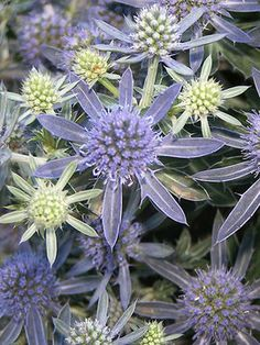 """Eryngium planum Blue Hobbit   Dwarf Sea Holly Height: Short 8-12"""" Plant 8-10"""" apart   Bloom Time: Early Summer to Late Summer   Sun-Shade: Full Sun   Zones: 4-8    Soil Condition: Normal   Flower Color / Accent: Blue / Blue"""