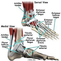 The difference between a strain and a sprain; a ligament and a tendon. Take a closer look at injuries and how to cope throughout the recovery process. Ankle Anatomy, Foot Anatomy, Ligaments And Tendons, Human Anatomy And Physiology, Anatomy Organs, Sprained Ankle, Medical Anatomy, Muscle Anatomy, Anatomy Reference