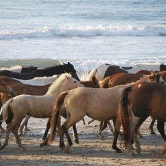 Assateague/Chincoteague Pony Penning 2012 Chincoteague Ponies, Chincoteague Island, Island Horse, Bucket List Destinations, Barrel Racing, Thoroughbred, My Ride, Beautiful Horses, Maryland