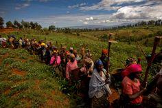 Harvesting the crops.   By Micah Albert.