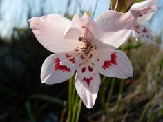 gladiolus serpenticola | More photos of representative species are shown below.